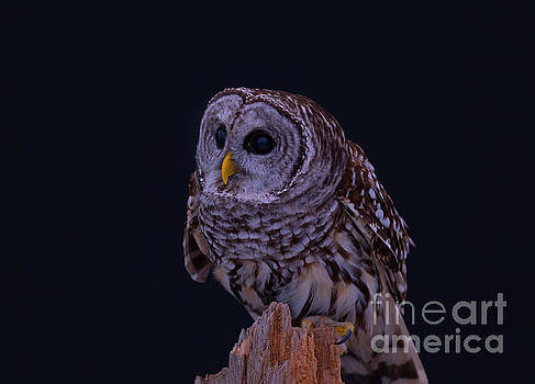 Adorable Barred Owl by CJ Park