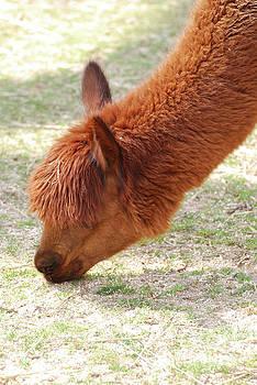 Adorable Brown Llama Grazing on Grass in a Farm by DejaVu Designs