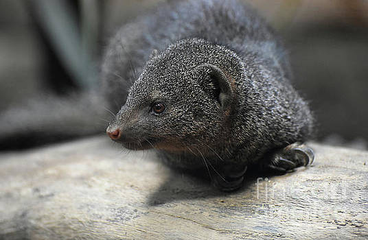 Adorable Little Dwarf Mongoose Laying on a Rock by DejaVu Designs