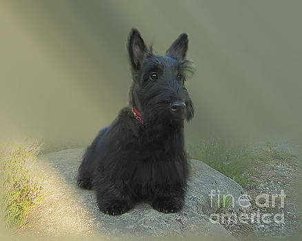 Adorable Scottie on the Rocks Scottish Terrier   by Heinz G Mielke