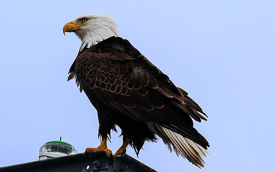 Allan Levin - Adult Bald Eagle