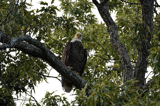 Adult Bald Eagle Shiloh TN 052620156808 by WildBird Photographs