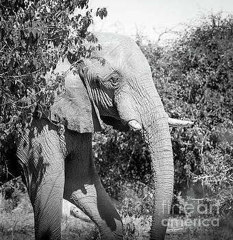 Tim Hester - Adult Elephant Portrait Black And White