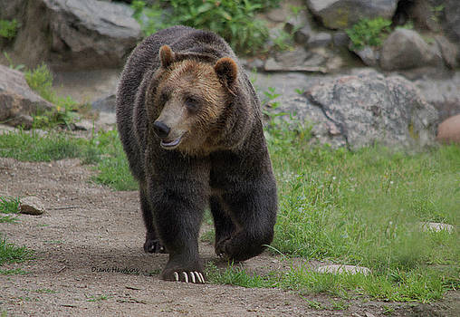 Adult Grizzly by Diane Hawkins