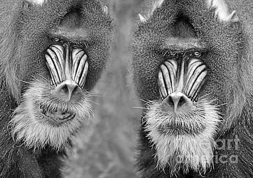 Adult Male Mandrills black and white version by Jim Fitzpatrick
