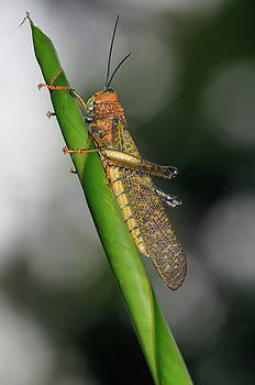 Reimar Gaertner - Adult orange yellow grasshopper locust on curled leaf in Costa R