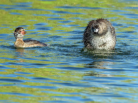 Adult Pied-billed Grebe and Chick by Tam Ryan