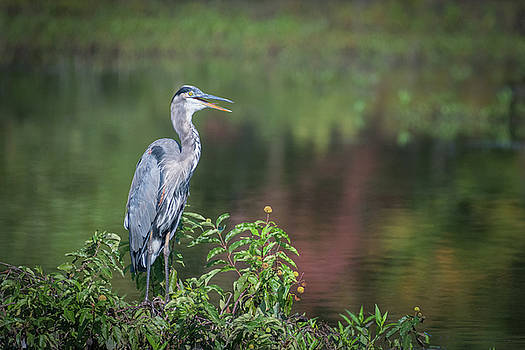 Advice from a Great Blue Heron by Cindy Lark Hartman