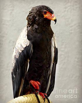 African Eagle-Bateleur II by Kathy M Krause