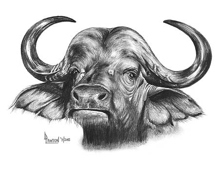 African Buffalo by Dave Lawson