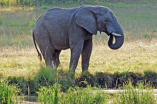 Harvey Barrison - African Bush Elephant on Display