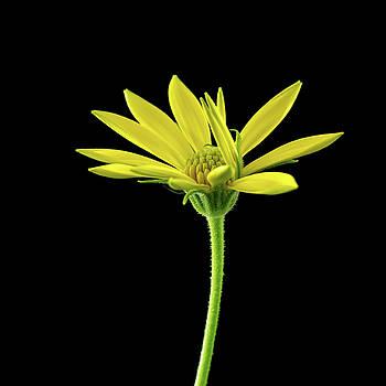 African Daisy by Ken Mickel