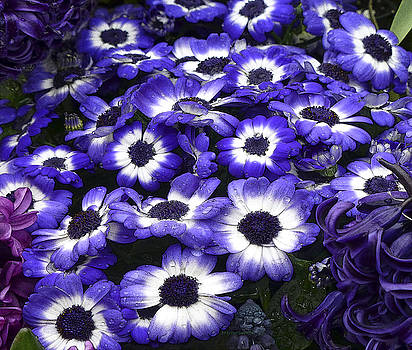 Dee Flouton - African Daisy Purple and White
