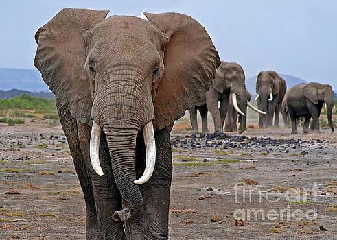 African Elephant in Kenya by Wibke W