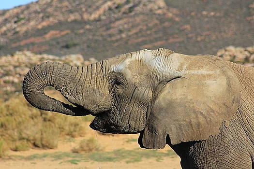 African Elephant by Jennifer Ansier