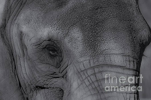 African Elephant one eye view black and white by Photo Captures by Jeffery