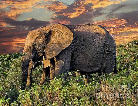 African Elephants at Sunset by Lynn Bolt