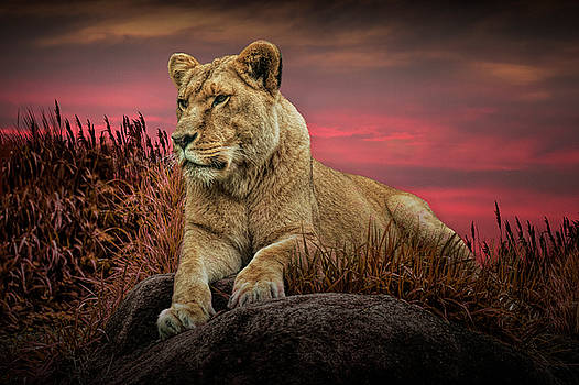 Randall Nyhof - African Female Lion in the Grass at Sunset