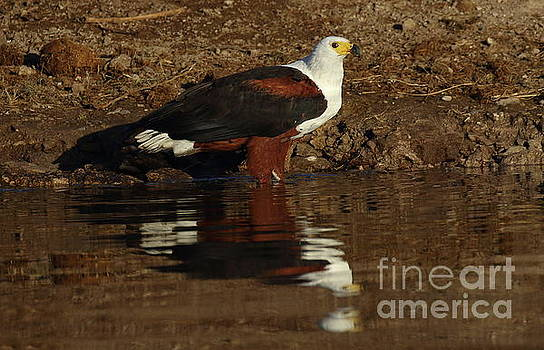 African Fish Eagle by Myrna Bradshaw