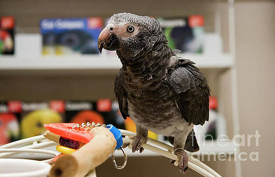 Jill Lang - African Grey in a Pet Store