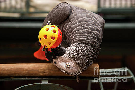 Jill Lang - African Grey Playing with a Toy