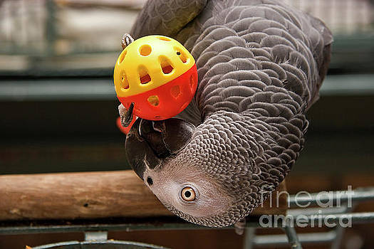 Jill Lang - African Grey with Ball