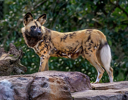 African Hunting Dog by Tito Santiago