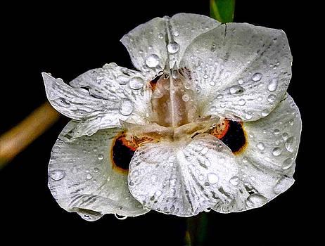 African Iris by Charlotte Schafer