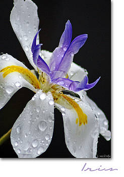 Holly Kempe - African Iris