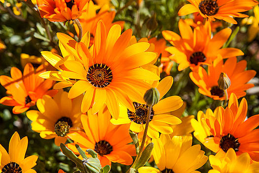 African orange and yellow daisies by Dina Calvarese