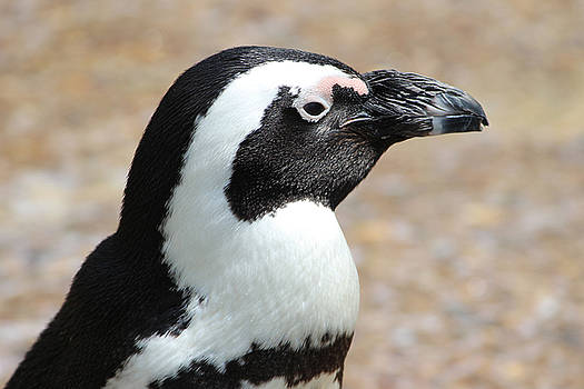 African Penguin  by Joscelyn Paine