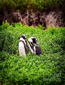 Tim Hester - African Penguin Pair