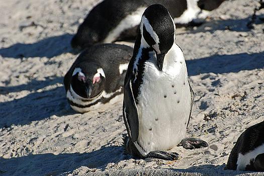 Harvey Barrison - African Penguin Study Number Eleven