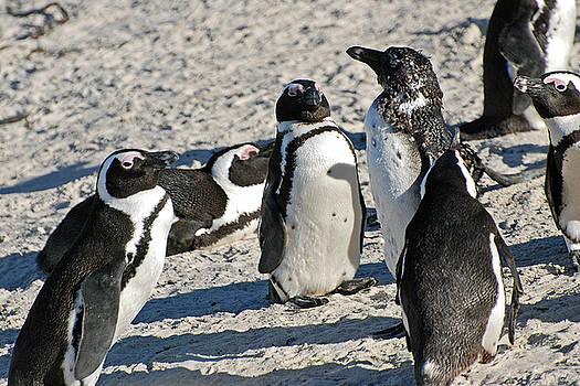 Harvey Barrison - African Penguin Study Number Eight