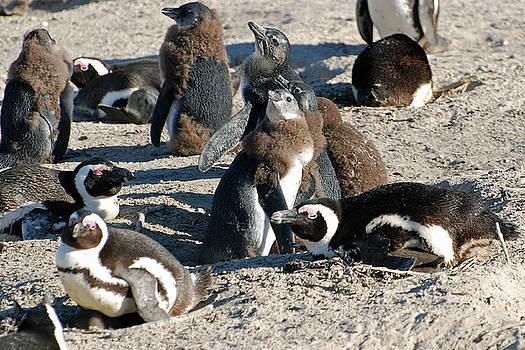 Harvey Barrison - African Penguin Study Number Ten