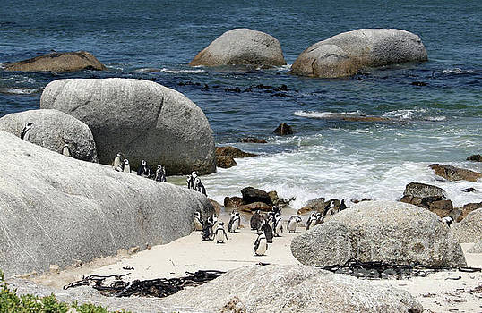 African Penguins on Boulders Beach by PJ Boylan