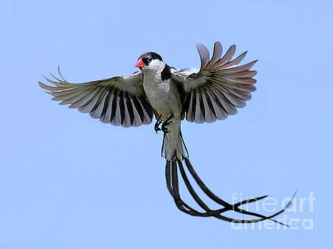 African Pintail Whydah by Jennie Breeze