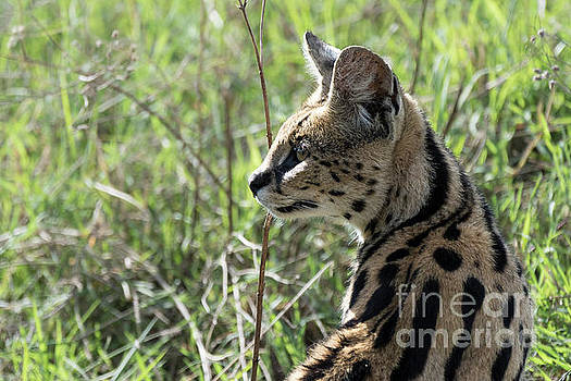 RicardMN Photography - African serval using its sense of hearing to locate the prey