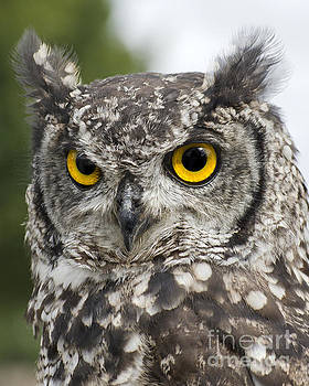 African Spotted Eagle Owl by Linsey Williams