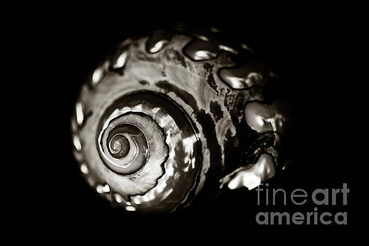Charmian Vistaunet - African Turbo Shell - Sepia Tone