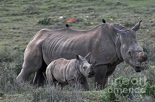 African White Rhino and calf by Josephine Cohn