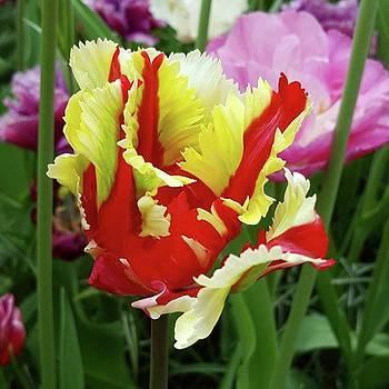 After My Visit To #keukenhof #tulip by Dante Harker
