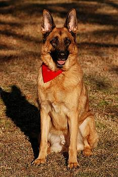 Afternoon Portrait of a German Shepherd by Angie Tirado