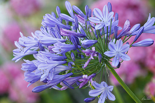 Agapanthus by Diana Haronis