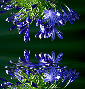 Agapanthus  by Imagevixen Photography