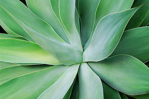 Reimar Gaertner - Agave attenuata tropical plant