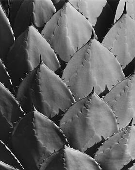 Agave Plant by John Gilroy
