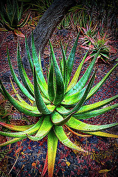 Agave Plant by Joseph Hollingsworth