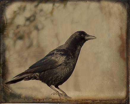Age Old Crow  by Gothicrow Images