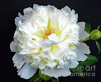 Cindy Treger - Ageless Beauty - Festiva Maxima Double White Peony
